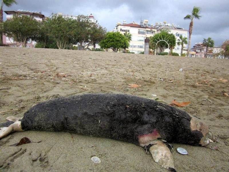 Alanya sahile ölü fok vurdu!