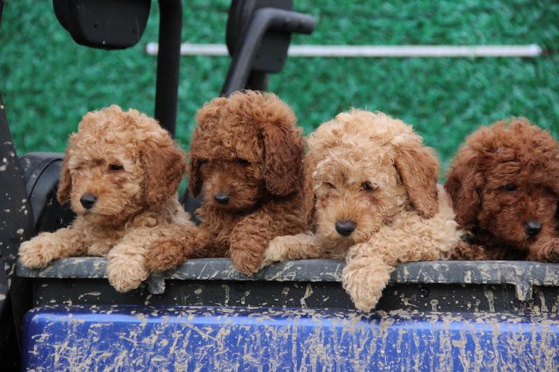 Köpek eğitimi dünyada ilerliyor