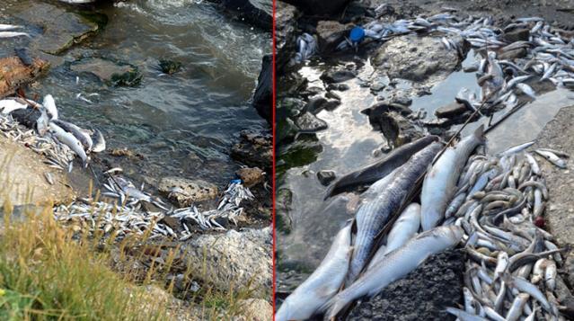 Küçükçekmece Sahilinde Ölü Balıklar Kıyıya Vurdu