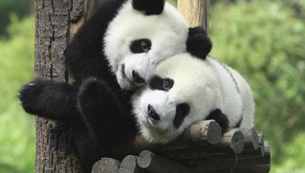 Pandalar kurtuldu: Nesilleri tükenmeyecek!