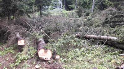 Artvin'de 700 ağaç kesildi