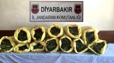 Diyarbakır'da 77 bin 593 kök hintkeneviri!