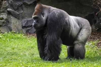 Goril sürüsü ABD'de Covid-19'a yakalandı
