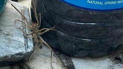 Muğla'da Et Yiyen Örümcek Görüldü